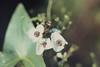 Arrowhead flowers, Whitchurch, Glamorgan Canal, 09/08/65 (Mary Gillham Archive Project) Tags: 09081965 arrowhead planttree st13888088 sagittariasagittifolia wales 1965 9818 cardiff forestfarm glamorganshirecanal