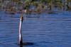 The game of death (Emu Alim) Tags: nikond500 afsnikkor200500mmf56eed afsnikkor200500mmf56eedvr birds darter action fish catchingfish toyingwithprey birdphotography nature wildlife nikon