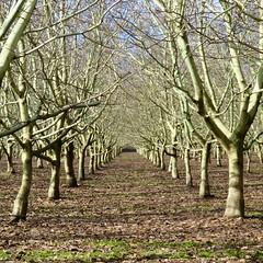 Winter Walnuts (Black Cat Bazaar) Tags: orchard walnut trees winter january sunny california ca chico rows daily walk brown beige