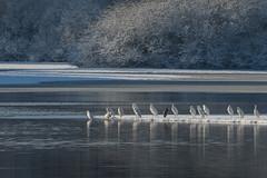 DSC_6499.jpg (Saztul) Tags: schnee see reiher wildlife silberreiher natur vogel bird frost eis ice lake nature greategret snow