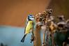 IMGP0955.jpg (pmh62) Tags: oiseaux birds