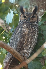 Great Horned Owl (m) (plsmart) Tags: 201705 jan31 oceangrove greathornedowl great horned owl bubovirginianus dncb