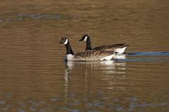 IMGP7030 Canada Geese, Lackford Lakes, January 2017 (bobchappell55) Tags: canada geese lackfordlakes naturereserve nature suffolkwildlifetrust suffolk water wild wildlife bird