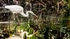 Poised for the Strike (Simmie | Reagor - Simmulated.com) Tags: ardeaalba bird celebration egret florida nature naturephotography outdoors seascape unitedstates waterbird wildlife digital us animalplanet ardea alba greategret