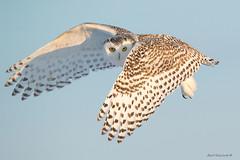 Snowy Owl - the look (Earl Reinink) Tags: owl raptor snowyowl earl reinink earlreinink nature naturephotography nikon nikond5 wolfisland ddudaaadi ddudaaadia wow