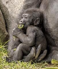 Loving Hand (shottwokill) Tags: safaripark sandiego animals gorilla nikon nikkor 200500 d800 baby eating safe security parenting protection love instinct hand mother innocence innocent mothersgentletouch