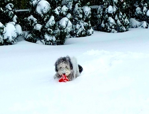Finnigan found his ball in the snow....snow day