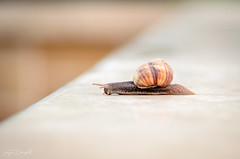 Snail in morning (JDanyaloff) Tags: morning snail baku macro macroworld nikon nature d610 tokina 100mm