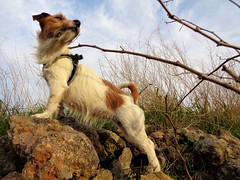 Nina (SnakeInMind) Tags: nina wind windyday vento country campagna jrt jackrussellterrier terrier dog dogs cani cane natura nature animal animals animali animalidomestici