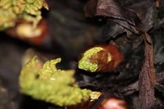 Macro Monday: it's A-peeling to me (AngharadW) Tags: peel leaves leaf brown stem green itsapeelingtome monday macro determination rhubarb macromonday angharadw dark flash lastyear