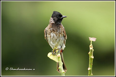 6759 - redvented bulbul (chandrasekaran a 40 lakhs views Thanks to all) Tags: nature india tamilnadu nilgiris mudumalai wls masinakudi birds redventedbulbul canon60d tamron200500mm