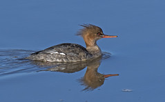 RED-BREASTED MERGANSER (f)