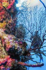 The Wall (jnhPhoto) Tags: belize2017 jnhphoto scuba scubadiving wall corals belize