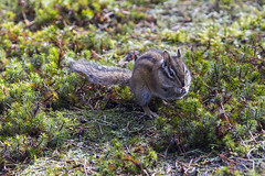 Chipmunk (Scott DeSelle) Tags: canon eos7dmarkii canonef70200mmf28lisiiusm acratech rrs reallyrightstuff chipmunk
