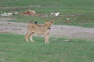 Junglöwe / Lion Cub