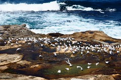 Rock Pools (Rose Slr) Tags: coast coogee sydney summer landscape waves water seagulls sea rockpool rocks birds animals nature
