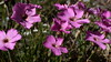 Dianthus sylvestris (Wood Pink) (Hugh Knott) Tags: dianthussylvestris woodpink zermatt flora helvetica valais