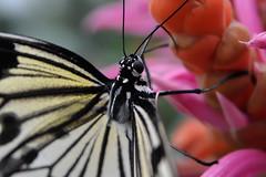 Papillons en Liberté 2017 - Photo 20 (Le Chibouki frustré) Tags: nikon nikond700 d700 700 fx fullframe montréal montreal homa hochelagamaisonneuve macro macrophotographie botanicalgarden jardinbotanique jardinbotaniquedemontréal montrealbotanicalgarden butterfly insect insects bokeh dof pdc papillonsenliberté2017 butterfliesgofree2017 closeuplens closeupfilter
