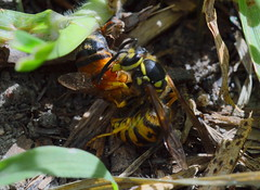 European wasp (Vespula germanica) killing a bee to make carrion 2017 (Nikor 50mm 1.8D with macro ring) (nicephotog) Tags: vespula germanica european wasp bee honeybee apis mellifera fight kill carrion carcass insect wildlife
