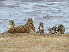 Spotted !! (mr_snipsnap) Tags: grey seals mammals animals beach coast sand sea fauna wildlife nature