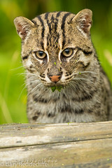 Fishing Cat (Gary Reddecliffe) Tags: nature wildlife whf kent wildlifeheritagefoundation cat cats bigcat bigcats fishingcat