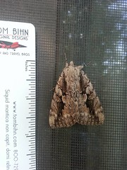 August 14, 2015 - Some sort of crazy moth in Thornton. (LE Worley)