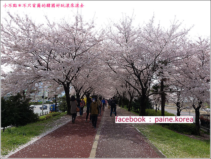 釜山沙上江邊公園櫻花路 (3).JPG