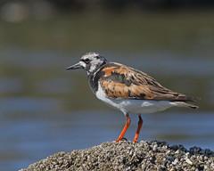 Ruddy Turnstone (Keith Carlson) Tags: shorebirds ruddyturnstone arenariainterpres