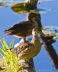 Wood. Ducks. (Doug Scobel) Tags: wood duck aix sponsa kensington metropark waterfowl bird wildlife nature