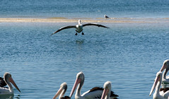 Getting Ready to Land (Jocey K) Tags: bird pelicans water reflections river labrador seagull australia landing queensland surfersparadise goldcoast triptoqueenslandbrisbane