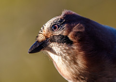 Who are you? (Tom Dalhoy) Tags: autumn bird fall norway closeup published jay dof bokeh sunny curious crow 500px ifttt