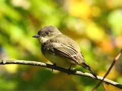 Eastern-Phoebe-25 (egdc211) Tags: bird nature canon birdwatcher backyardbirding naturewatcher connecticutbird newenglandbird