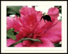Just BEE-cause.. (DonaSite) Tags: pink ohio flower backyard roseofsharon beemacro beecauseimyeaningforspring