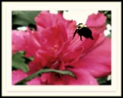 Just BEE-cause.. (DonaSite) Tags: pink ohio flower backyard roseofsharon beemacro beecauseimyeaningforspring
