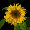 The last Sunflower (WaterBugsPics) Tags: sunflower leaves flower flowers yellow green black sun showbizwinner a3b fotocompetitionbronze fotocompetitionsilver fotocompetition cy2 15challengeswinner friendlychallenges