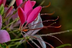 Cleome IMG_2711 (jakes irigoien) Tags: red fleur rojo loreak cleome gorri