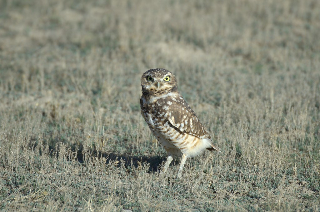 The world s best photos of owl and yellowstonenationalpark flickr