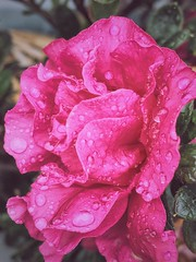 Rain drops (Rvs1966) Tags: plant flower macro beautiful flickr pretty outdoor flowerphotography mobilephotography flickrdiamond iphonephotos vscocam iphonesphotography