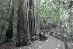 Bridge to the mountain (Redwood Reverence) Tags: bridge trees green redwoods bam greentree oldbridge bridgeredwoods