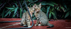 2015 - MEXICO - Chiapa de Corzo - Frisky Fixated Felines (Ted's photos - Returns late Feb) Tags: two portrait cats mexico chair nikon pair ears kittens whiskers d750 cropped paws vignetting chiapas catseyes 2015 catswhiskers chiapadecorzo tedmcgrath tedsphotos nikonfx hotellaceiba tedsphotosmexico nikond750 mexico2015 hotelchiapadecorzo
