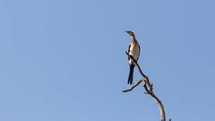 20151109_Shinde_0371.jpg (eLiL1860) Tags: bird birds botswana vögel vogel okavango tierwelt reedcormorant riedscharbe safari2015