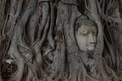 Thailand - 9 (Berlin inFocus) Tags: thailand head buddha ruin root ayutthaya entangled watmahathat