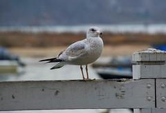 DSC_0865 (Six Sigma Man (Thank you for the 1.9M+ views)) Tags: bird nikon seagull longisland nikond3200 coldspringharbor