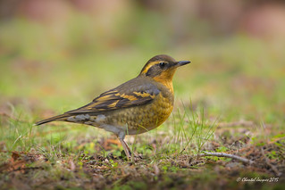 Varied Thrush- Grive à Collier