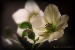 light and shadow (Fay2603) Tags: light shadow plants white flower green nature blossom christrose