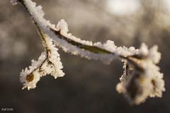 frozen (leaving-the-moon) Tags: 2016 201612 baden deutschland germany goodlight kraichgau raureif sweethome whitefrost winter