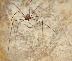 Spider (Pholcidae) (iainrmacaulay) Tags: spider australia pholcidae daddy longlegs