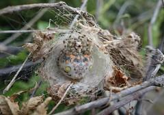 Magnificent Spider (Celeste33) Tags: magnificentspider bolasspider bolas spider australia garden orbweavingspider orbweaver nocturnal australianbolasspider