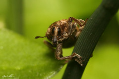 I SPY (striving67) Tags: weevil insects macro bugs snout