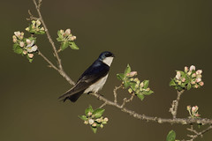 Tree Swallow (www.studebakerstudio.com) Tags: treeswallow bird apple blossoms spring animal wildlife nature